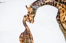 Giraffen haben ein großes Herz und Weitblick